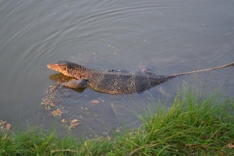 monitor lizard, Lumphini Park, Bangkok