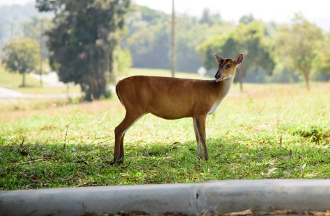 Khao Yai deer