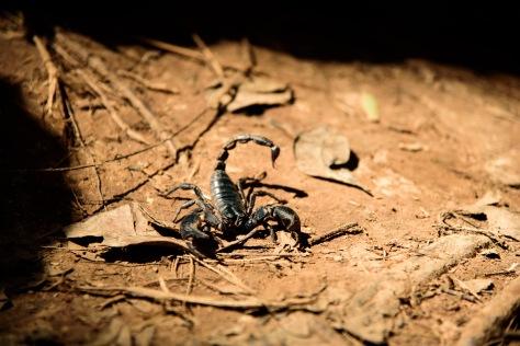 Khao Yai Thailand scorpion